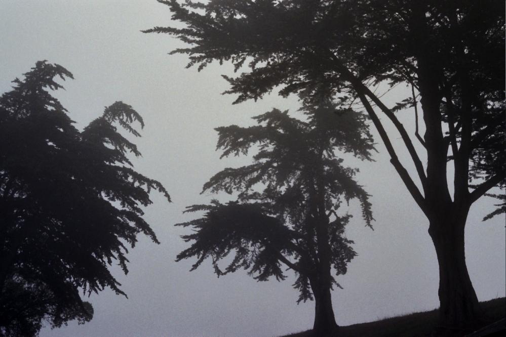 San Francisco Fog and Trees